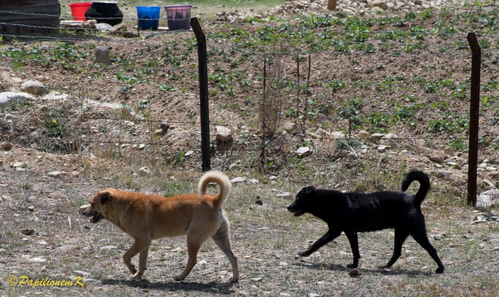 dogs in Bhutan