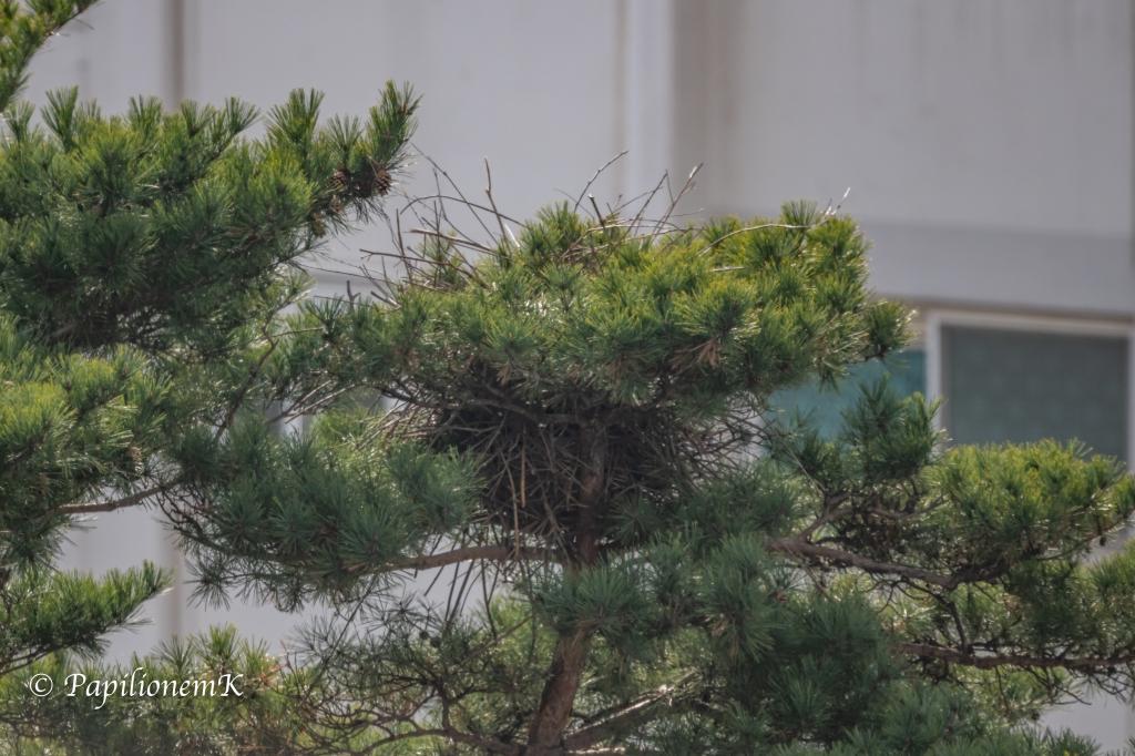 까치, 둥지, magpie, eurasian magpie, pica pica,