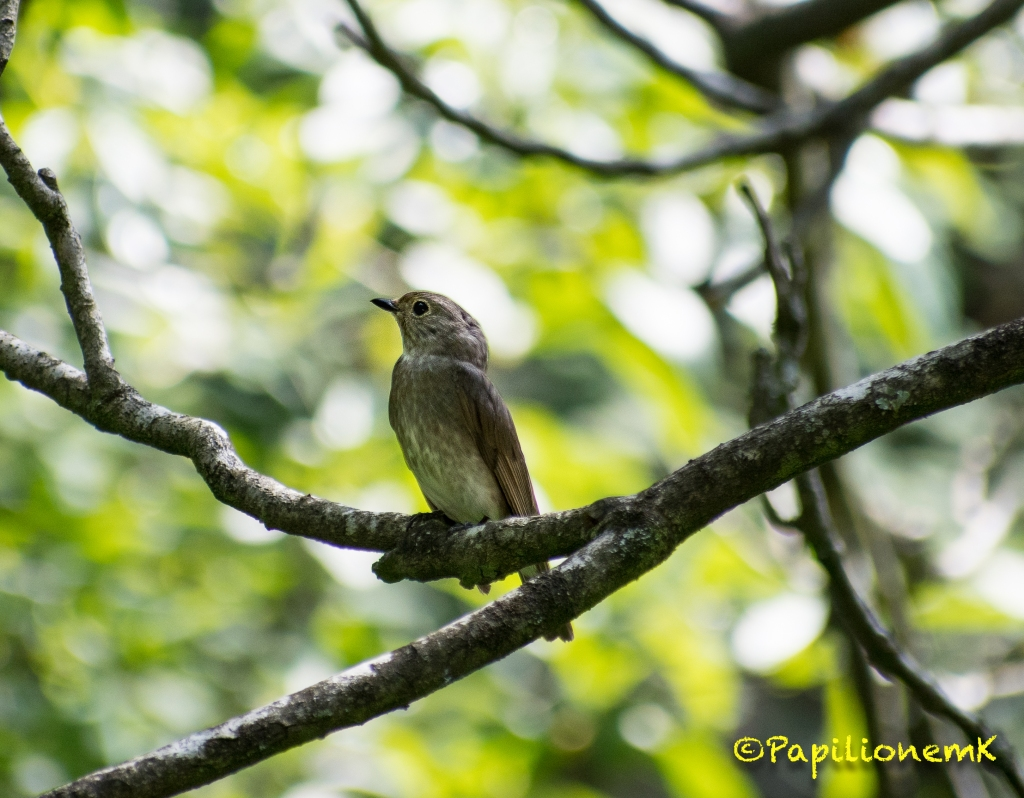 female Blue-and-white Flycatcher