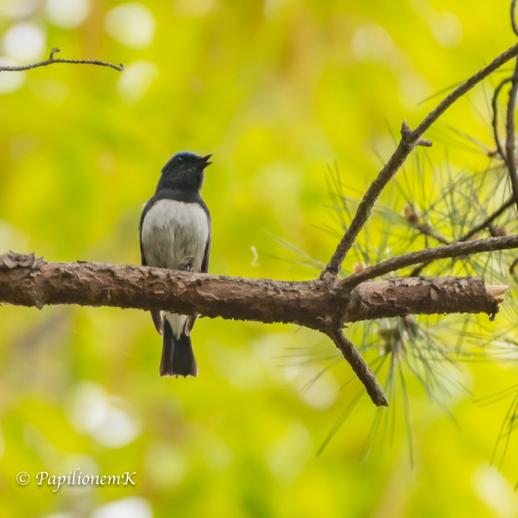 male Blue-and-white Flycatcher [Cyanoptila cyanomelana]